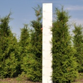 Thuja occidentalis 'Brabant' 175-200 cm