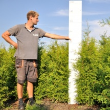 Thuja occidentalis 'Frieslandia' 125-150