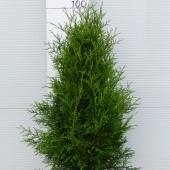 Thuja occidentalis 'Frieslandia' (4)