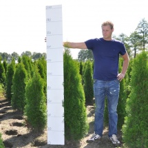 Thuja occidentalis 'Smaragd' 100-125 cm