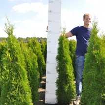 Thuja occidentalis 'Smaragd' 125-150 cm