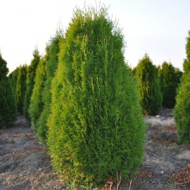 Thuja occidentalis 'Smaragd' 80-100 cm