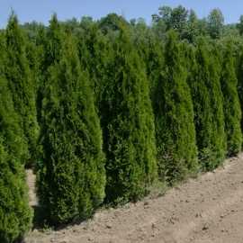 Thuja occidentalis 'Smaragd' 175-200 cm